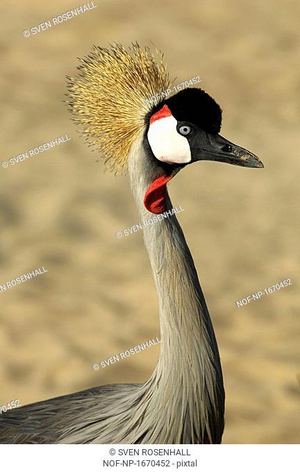 Close-up of a Grey Crowned crane, Fuerteventura, Canary Islands, Spain