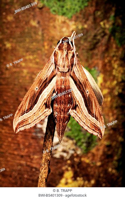 hawkmoths, sphinx moths (Sphingidae), at a stem, view from above, New Caledonia, Ile des Pins