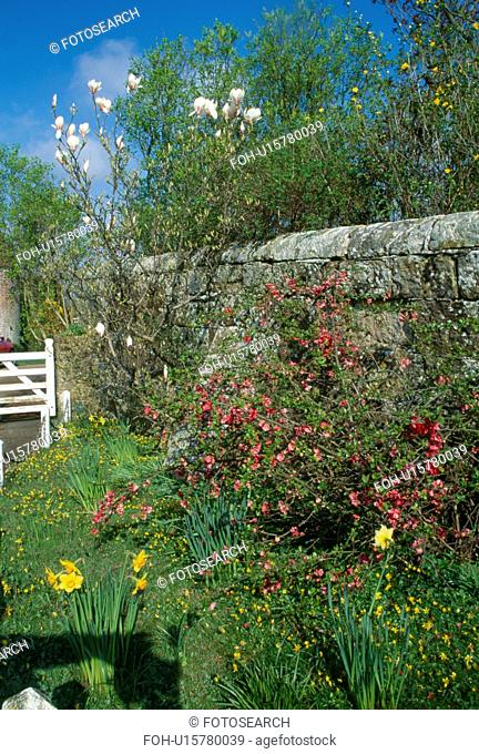 Pink chaenomeles in border in spring garden with stone wall