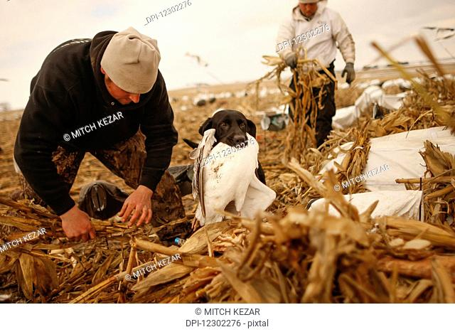 Snow Goose Hunters In Field Setting Decoys