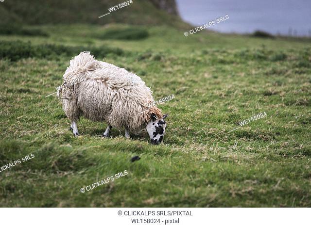 A sheep grazing on the hill. , Northern Ireland, County Antrim, Bushmills, United Kingdom