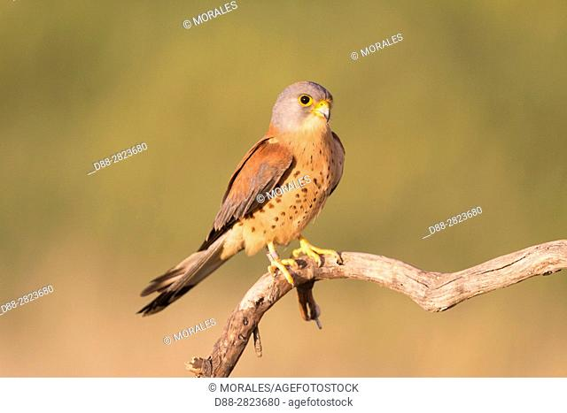Europe, Spain, Catalonia, Lesser Kestrel, male on a branch near the artificial cavity of a building entirely constructed for the nesting of these birds
