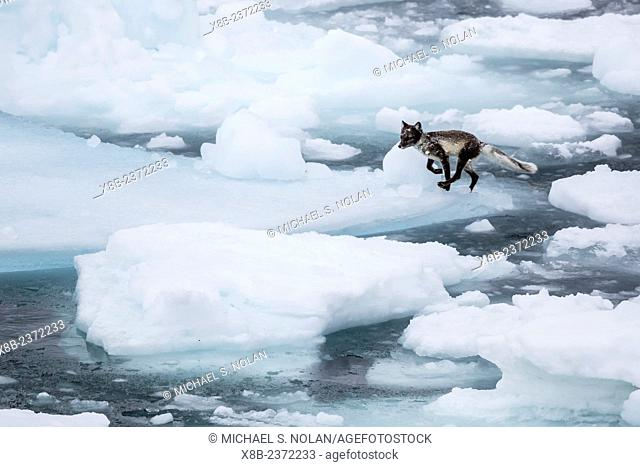 Adult arctic fox, Vulpes lagopus, on ice, losing its winter coat for its summer coat, Alkefjelet, Cape Fanshawe, Spitsbergen, Svalbard, Norway