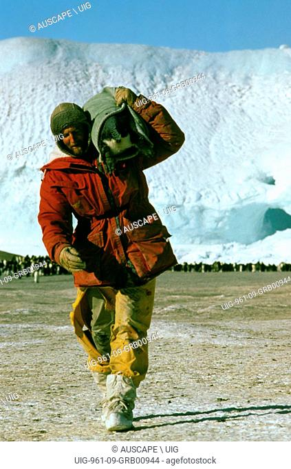 Emperor penguin, Aptenodytes forsteri, being carried in bag on shoulder of researcher, Antarctica. (Photo by: Auscape/UIG)