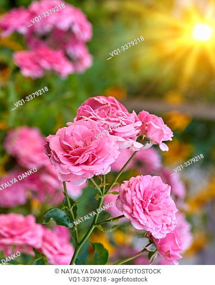 buds of pink blooming roses in the garden, rays of the bright sun, close up
