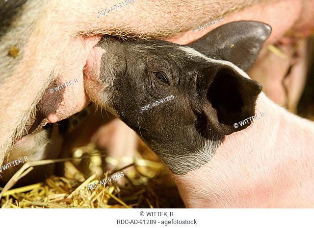 Domestic Pig suckling piglet