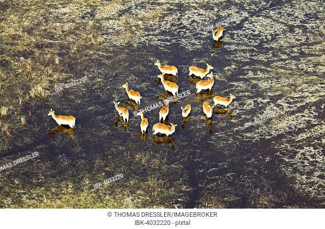 Red Lechwe (Kobus leche leche) herd in a freshwater marsh, aerial view, Okavango Delta, Botswana