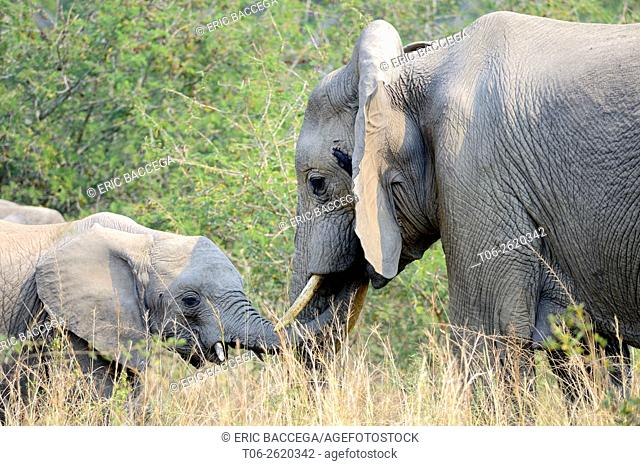 African Elephant (Loxodonta africana) female and baby, Queen Elizabeth National Park, Uganda, Africa