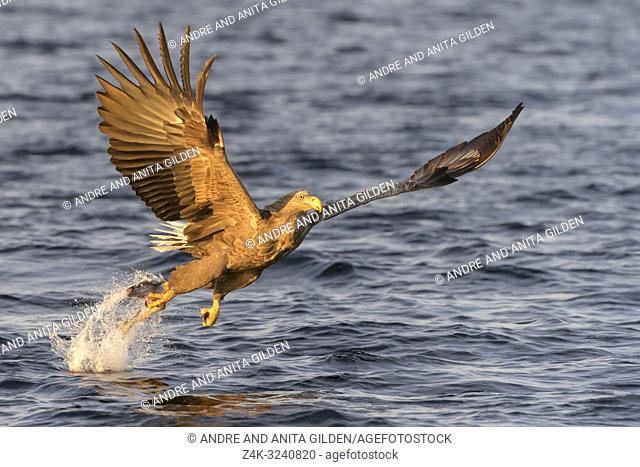 White-tailed sea eagle (Haliaeetus albicilla) in flight, hunting and catching fish, Flatanger, Norway