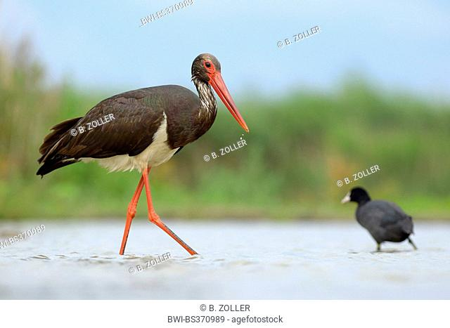black stork (Ciconia nigra), adult on the feed in water, with black foot in the background, Hungary