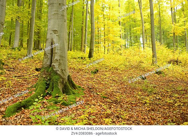 Close-up of an European beech or common beech (Fagus sylvatica) tree trunk in a forest in autumn, Upper Palatinate, Bavaria, Germany