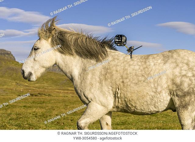 Icelandic Horse with Camera on his back, Iceland