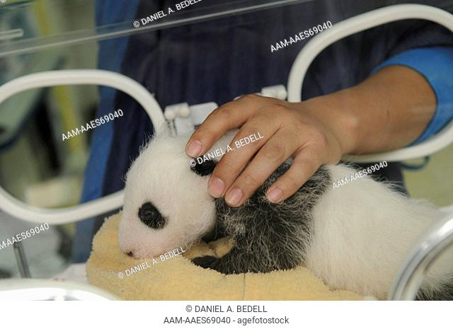 Three month old giant panda cub in incubator with researcher (Ailuropoda melanoleuca) Bifengxia Giant Panda Base, CCRCGP, Ya'an, Sichuan, China, October 2009