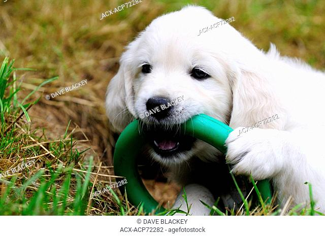 Purebred English Golden Retriever puppy playing with a green ring