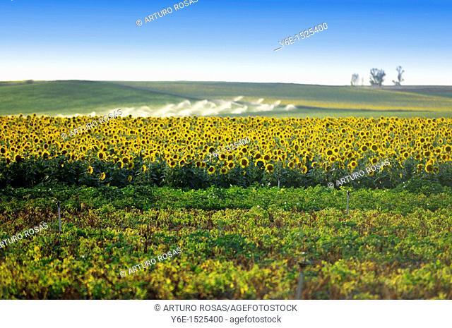 Sunflowers field Nº 1