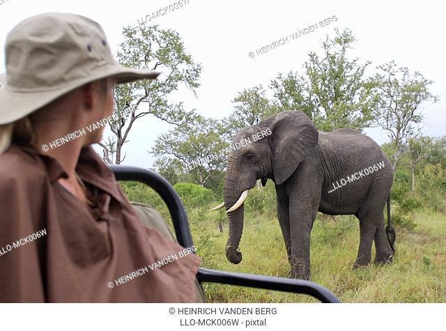 Woman Watching an African Elephant Loxodontaafricana from an Open Game Vehicle  Elephant Plains Game Lodge Sabi Sands, Mpumalanga Province, South Africa