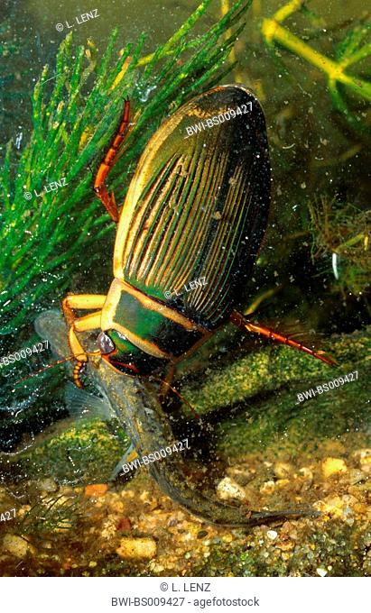 Great diving beetle (Dytiscus marginalis), capturing a larva of a newt