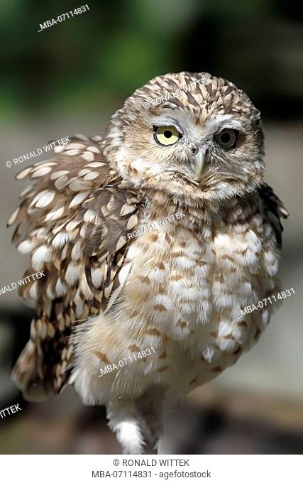 burrowing owl, burrowing owl, (Athene cunicularia), captive
