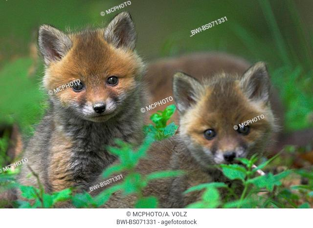 red fox (Vulpes vulpes), two watchful fox cubs, Germany