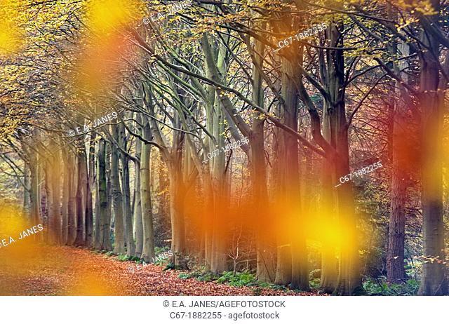 Beech Fagus sylvatica Felbrigg Great Wood Norfolk UK Early November