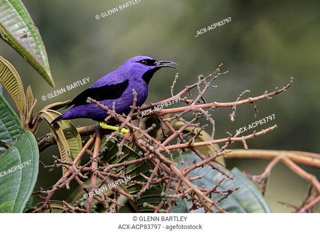 Purple Honeycreeper (Cyanerpes caeruleus) perched on a branch in Manu National Park, Peru