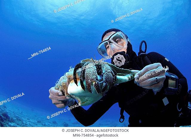Diver holding large hermit crab, Cozumel, Mexico