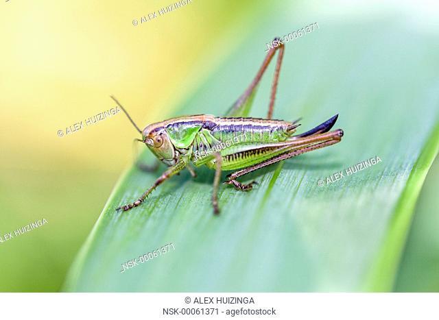Female of Roesel's Bush-cricket (Metrioptera roeselii) sitting on grass leaf, The Netherlands, Overijssel, IJssel, Duursche Waarden