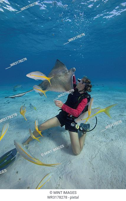 Scuba diver handfeeding a Southern stingray underwater at the Sandbar, Grand Cayman