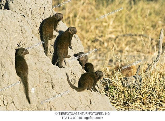 common dwarf mongooses