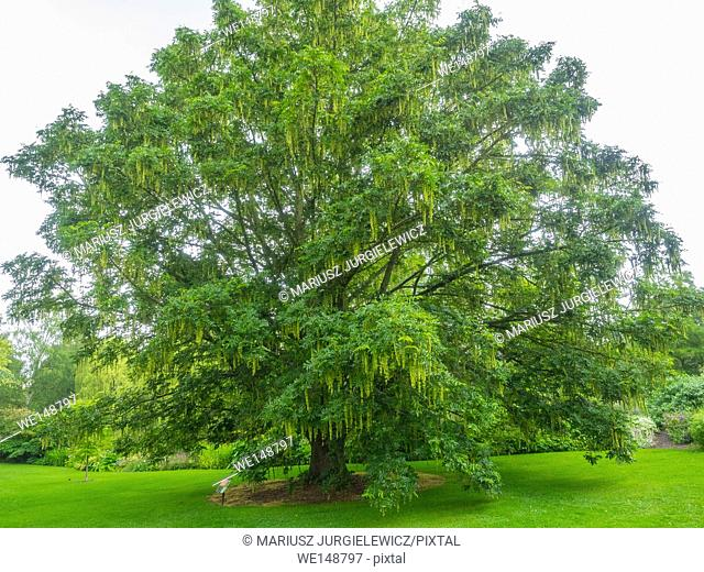 Japanese wingnut (Pterocarya rhoifolia) is a species of tree in the Juglandaceae family that grows in moist areas along riverbanks and mountain streams