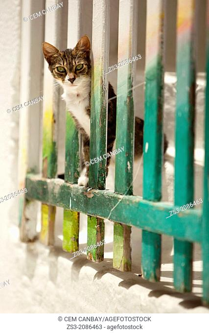 Cat at the town center Chora, Ios, Cyclades Islands, Greek Islands, Greece, Europe