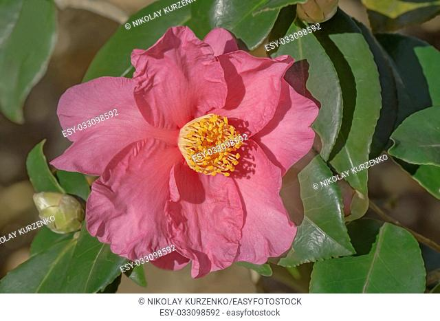 Winter's Fire hybrid camellia (Camellia x hybrid Winter's Fire). A hybrid of Camellia vernalis Takarazuka and Camellia oleifera Frost Prince)