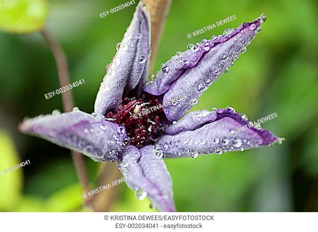 A Jackmanii Clematis blossom with curled petals covered in water droplets