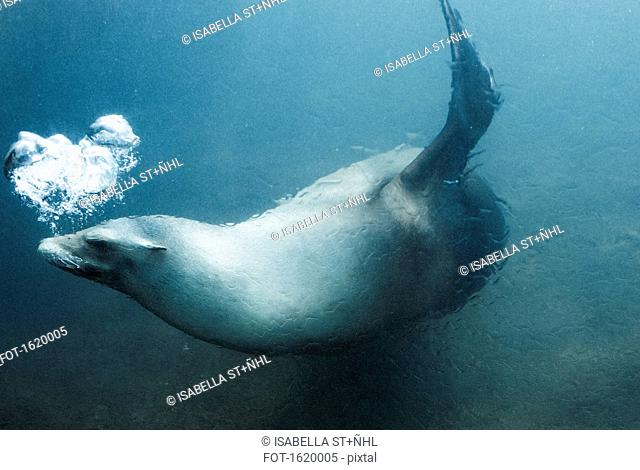 Side view of seal swimming underwater