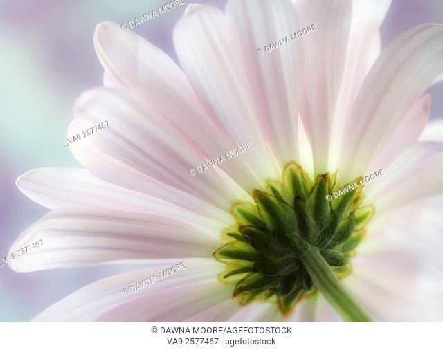 A close-up macro view of a common daisy (Bellis perennis) set against a purple and blue background