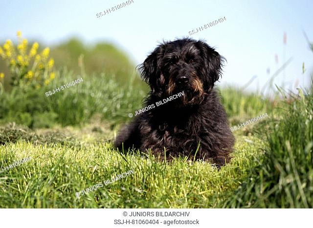 Labradoodle. Adult male lying on grass. Germany