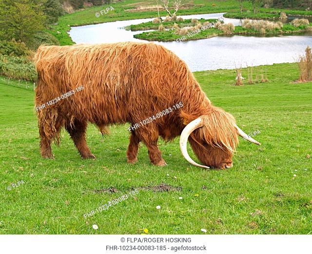 Highland Cattle, bull grazing in meadow, Devon, England