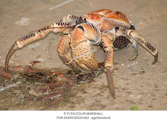 Giant Coconut Crab Birgus latro adult, feeding on crushed crab on road, Christmas Island, Australia