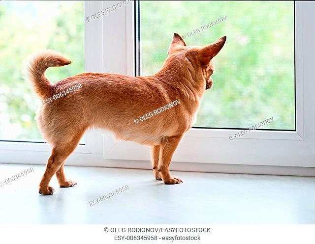 Red chihuahua dog standing on window sill and looks into the distance