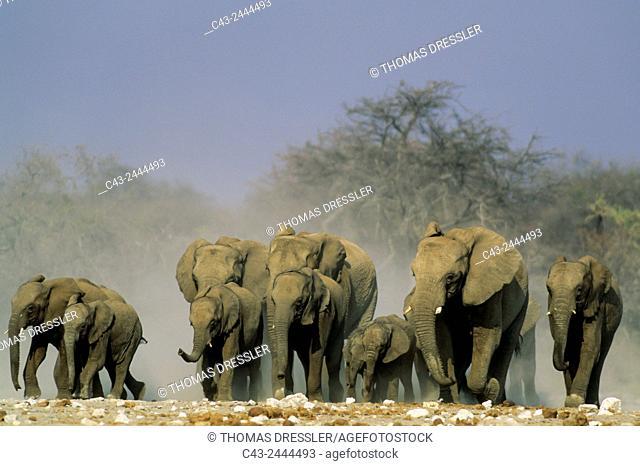 African Elephant (Loxodonta africana) - Rushing towards a waterhole. Etosha National Park, Namibia