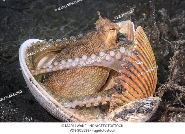 Coconut octopus, Amphioctopus marginatus, using shells for shelter, Lembeh Strait, North Sulawesi, Indonesia, Pacific