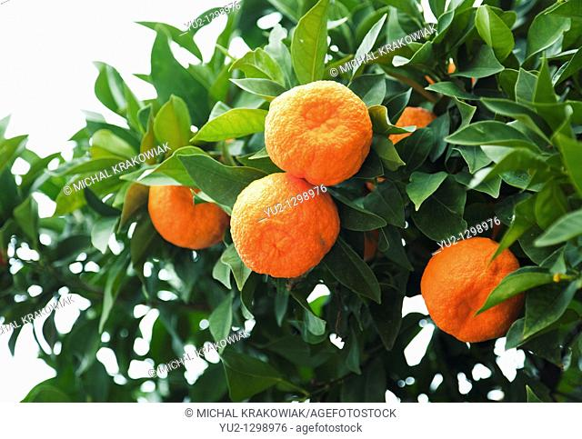 Mandarines on tree