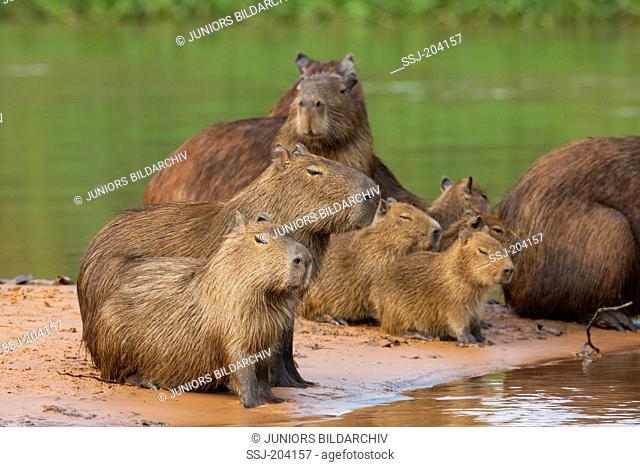 Capybara (Hydrochoerus hydrochaeris). Family with young on a sandbank. Pantanal, Brazil