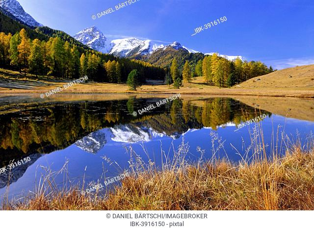 Autumnal larch forest reflected in Lake Schwarzsee or Lai Nair, Scuol, Engadin, Graubünden, Switzerland