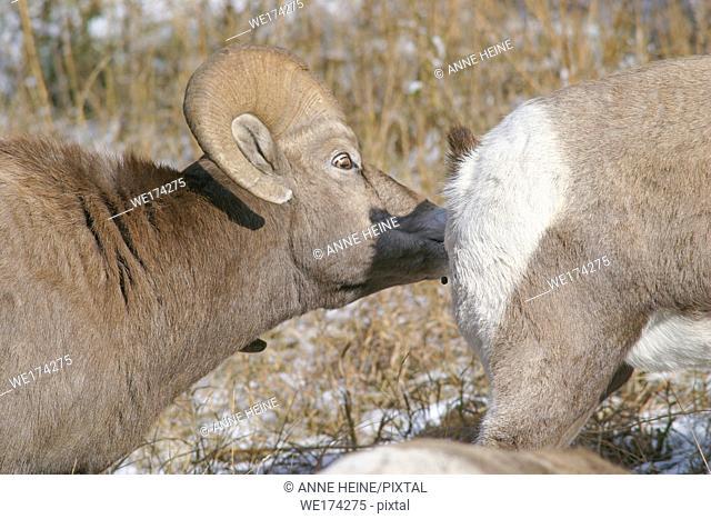 Rocky mountain bighorn sheep, Alberta, Canada
