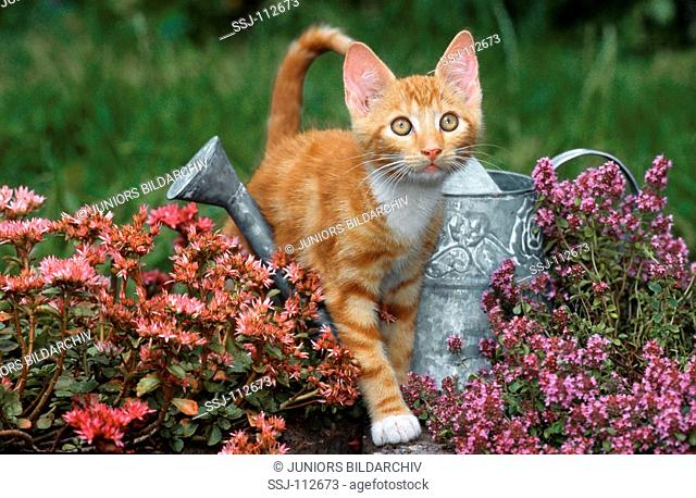 young domestic cat standing between flowers over watering can