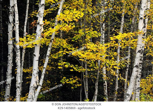 White birch Betula papyrifera tree trunks and sugar maple foliage