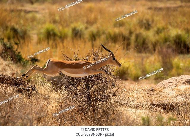 Impala ram (Aepyceros melampus), Mana Pools, Zimbabwe
