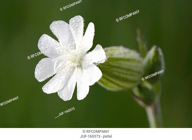 white Silene - blossom / Silene