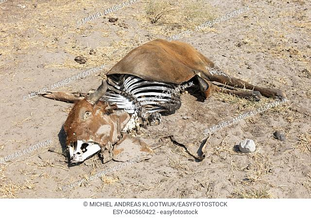Dead cow medium close up, cause of death unknown - Botswana
